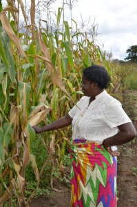 Ruth Miyanza's corn crop is proof that conservation farming works