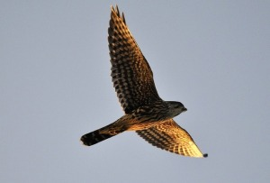 The Merlin falcon soars on the tail of the wind.